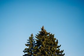blue sky pine tree top view