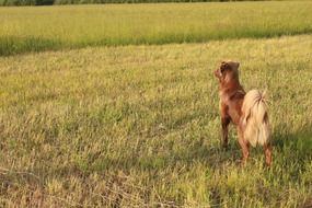 brown dog with a fluffy tail in the countryside