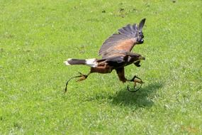 taking off common buzzard