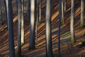 straight tree trunks with long shadows in autumn forest