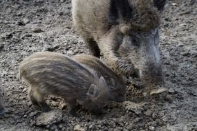 wild boar with children
