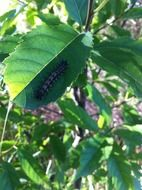 black spiny caterpillar on a leaves
