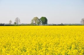 bright yellow flowering field