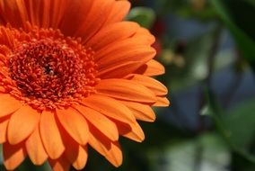 orange gerbera in spring