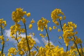 bright bloom of rapeseed close up