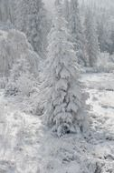 snow-covered spruce in the winter forest