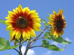 bright summer sunflowers on a clean day