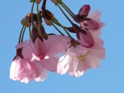 pink decorative cherry buds
