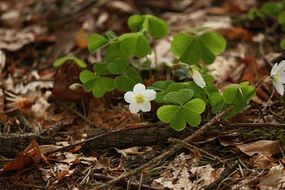 oxalis acetosella, wood sorrel, blooming plant on forest floor