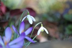 flowering white snowdrops