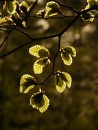 beech leaves back light scenery
