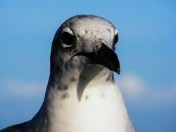 head of seagull with black beak close up