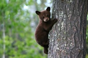 brown teddy bear climbs up a tree trunk