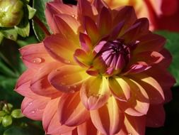 pink-yellow dahlia close-up