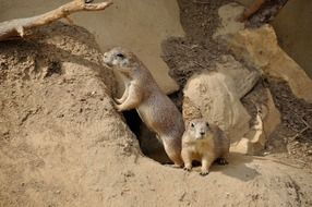 cute couple of prairie dog