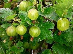 Berries of gooseberry on a bush