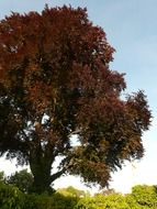 purple beech against the blue sky
