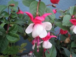 red-pink fuchsia flowers on a bush