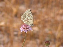 Gray butterfly on a pink flower