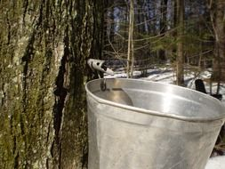 a bucket for collecting tree juice