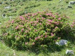 flowering alpine plant