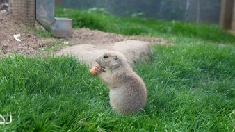 prairie dog is eating carrot