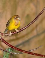yellow finch on a branch