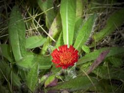 red hawk weed wild flower