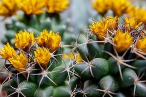 cactus in bloom closeup
