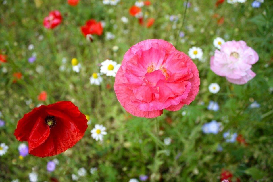 splendiferous poppy flower