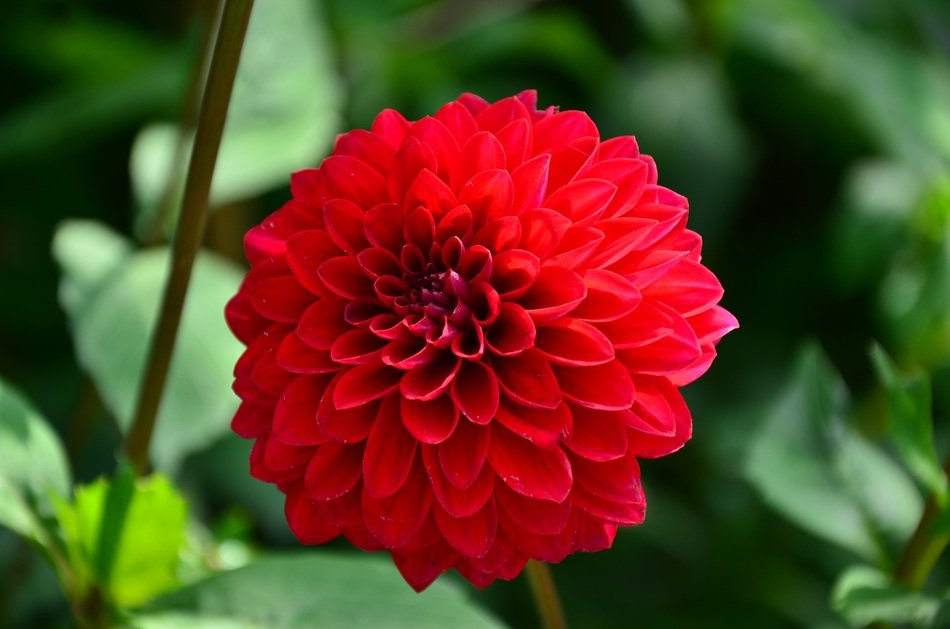 red colorful flower dahlia
