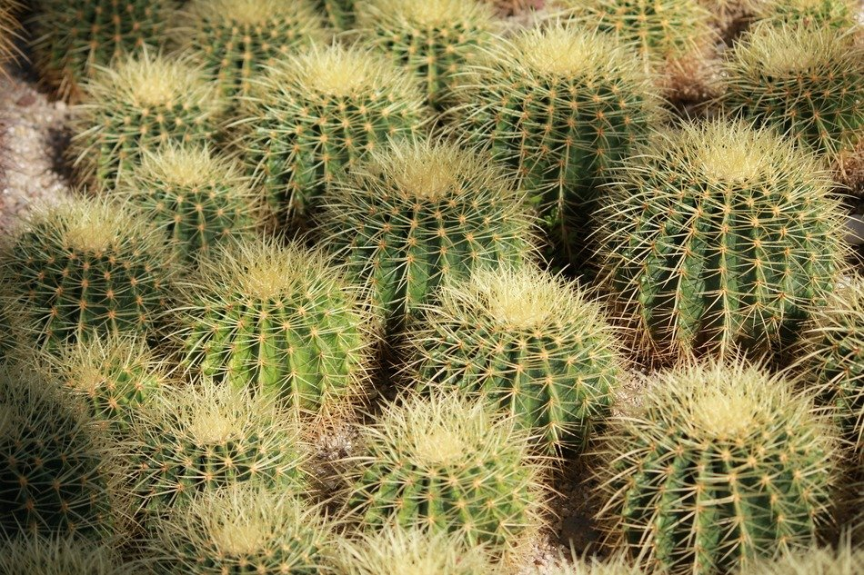 many small prickly cacti