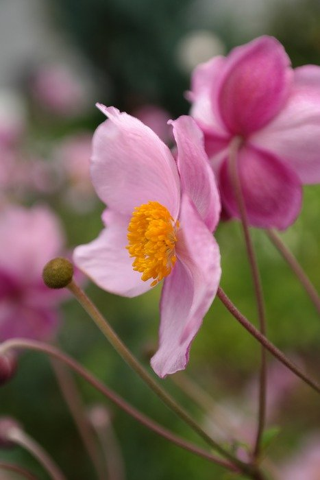 pink fall anemone flowers in the garden