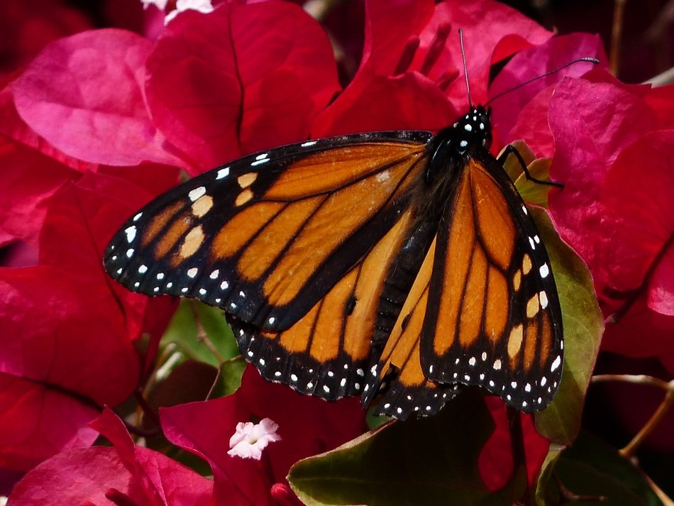 monarch butterfly close-up