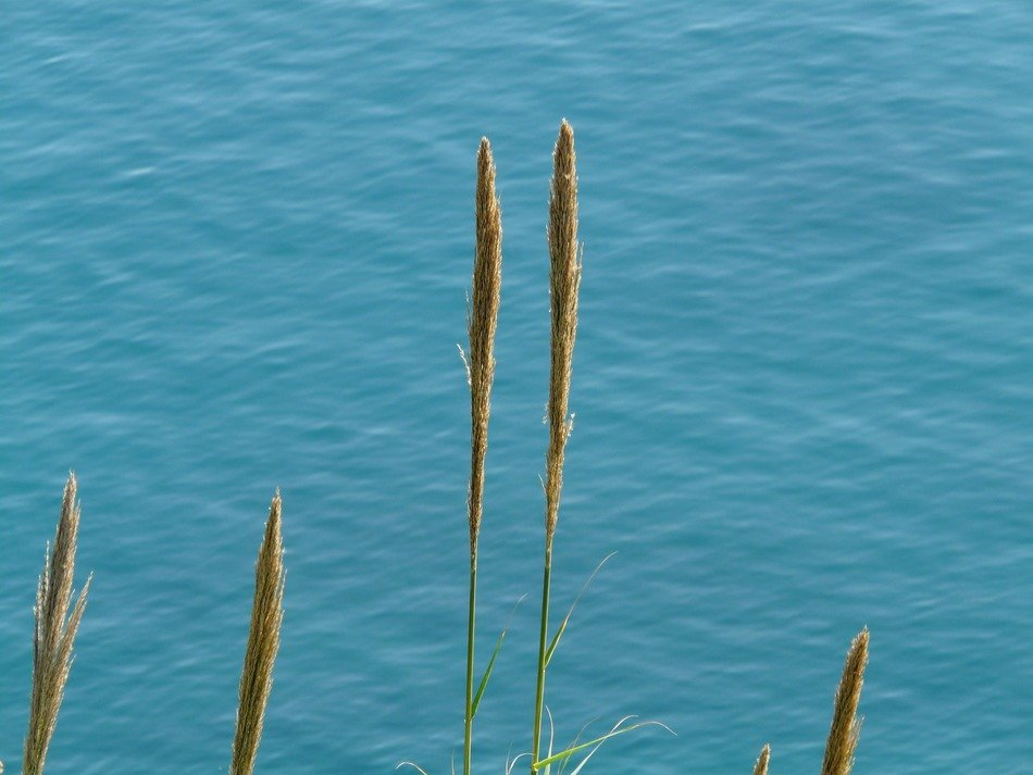 single reeds on a background of blue water