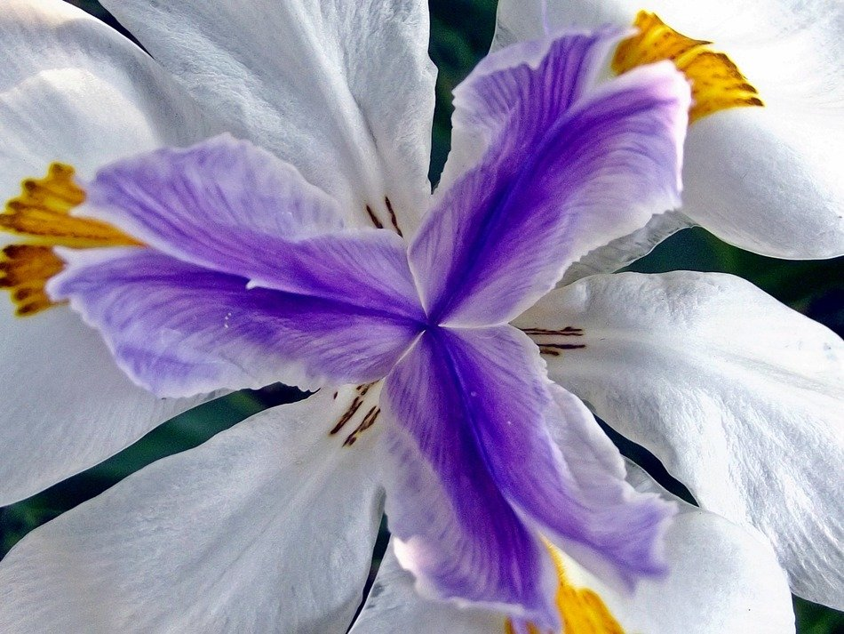 view inside flower iris