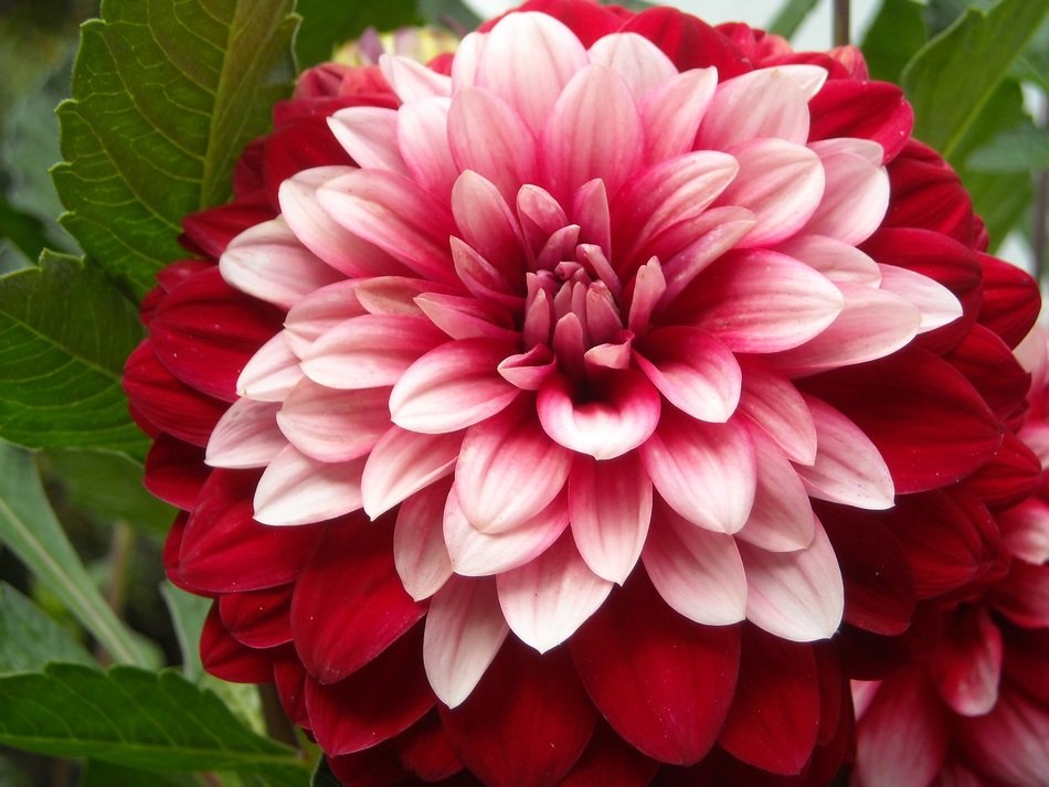 two-color dahlia closeup