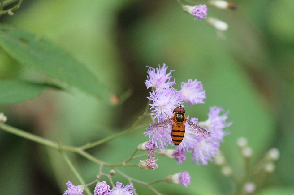 Hoverfly on a wildflower in the wild nature