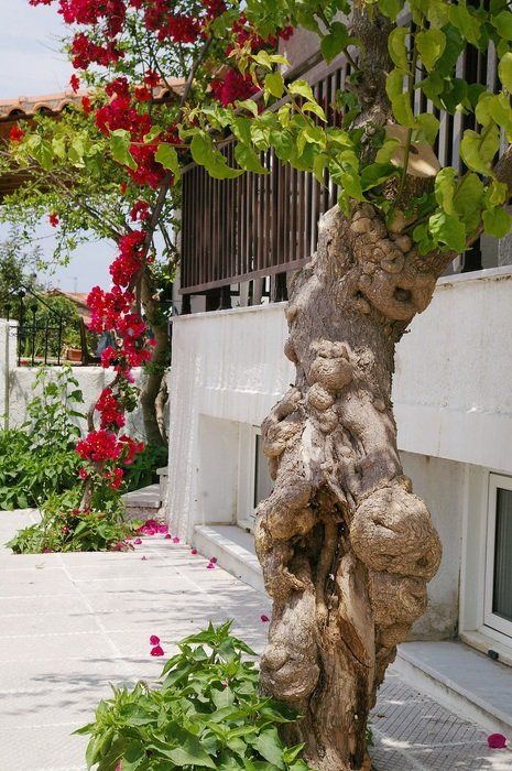 unusual tree with red flowers in the Mediterranean