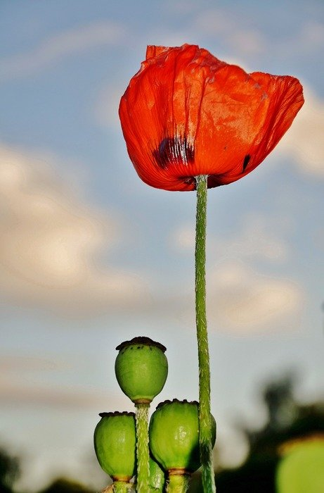 red poppy flower in the pure nature