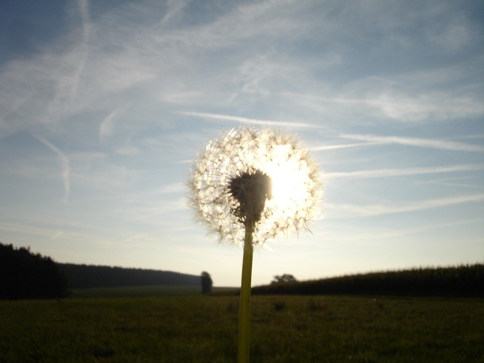 dandelion in the light of the sun