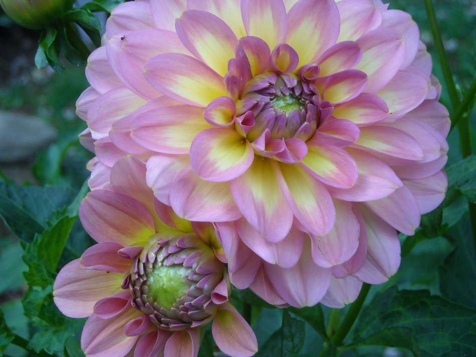 Two pink dahlias on the stalk
