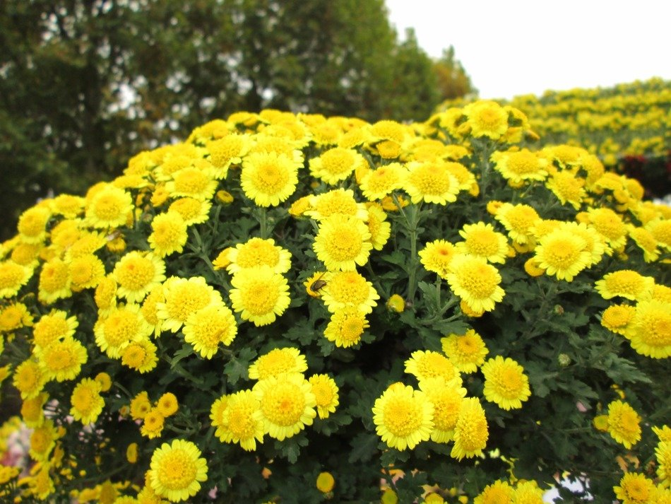 yellownchrysanthemums flowers blooming in the park