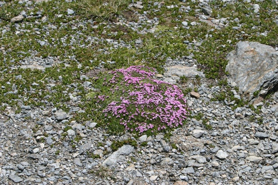 wild carnations among moss and stones