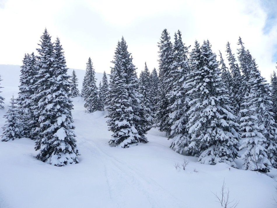 A lot of the snow on the trees in the forest in winter