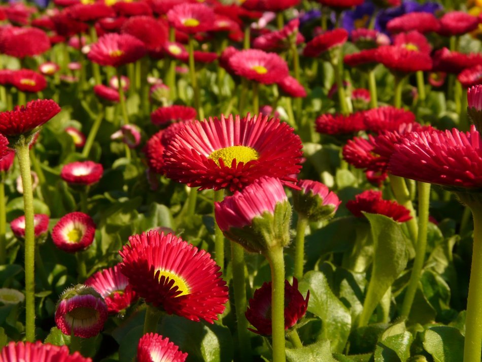 Field of red daisies close-up