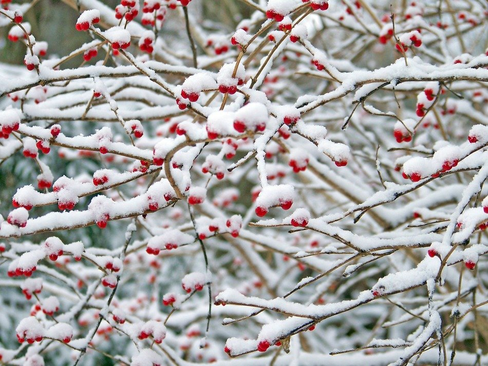Red berries on a snow-covered tree
