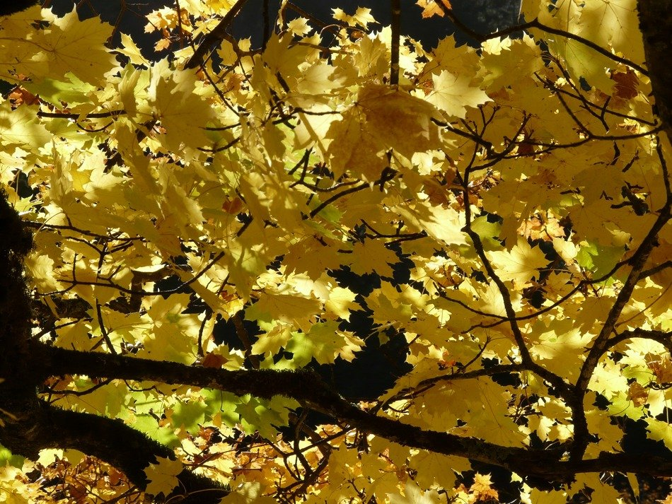 autumn maple leaves in the glare of light