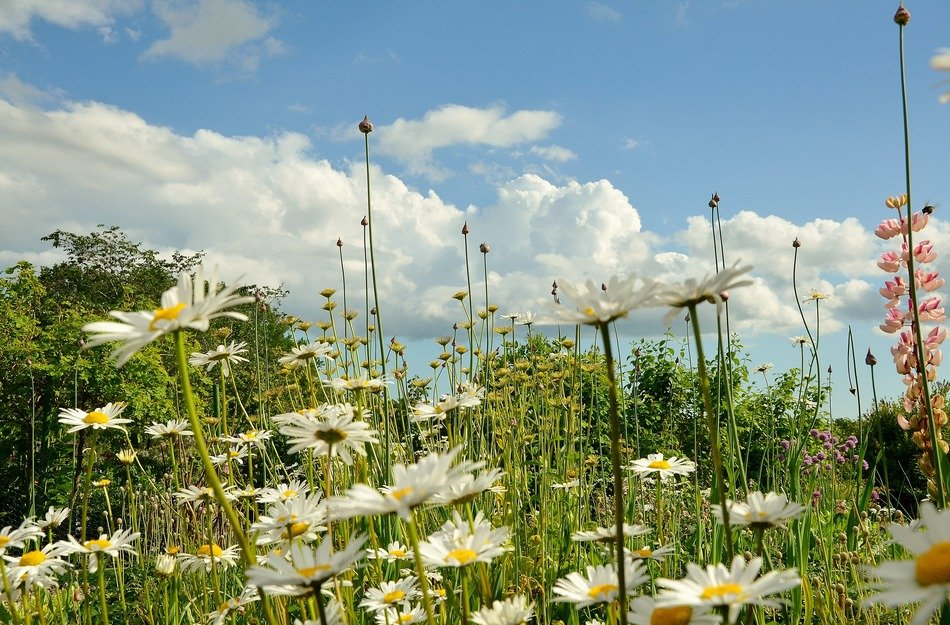 amazing meadow with white daisies