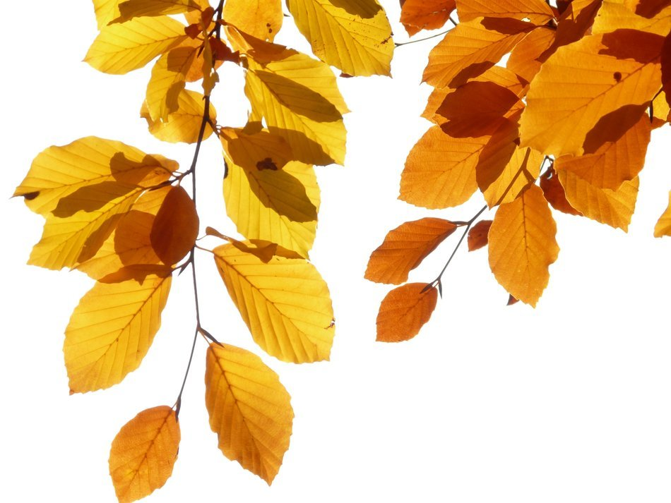 yellow leaves beech on a light background